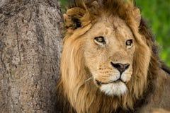 Närbild av det manliga skrapade trädet för lejon nära Arkivfoto