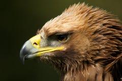 Närbild av det rufsade huvudet av den guld- örnen Fotografering för Bildbyråer