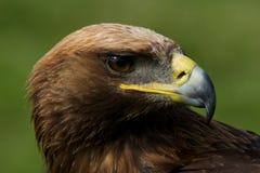 Närbild av det vända huvudet av den guld- örnen Royaltyfria Foton