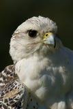 Närbild av det vita gyrfalconhuvudet och bröstet Royaltyfria Foton