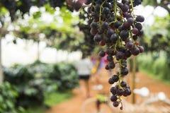 Närbild av druvor i vingården med suddig bakgrund Royaltyfri Foto