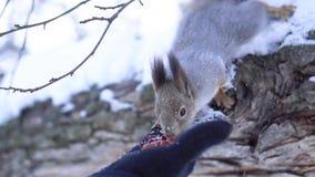 Närbild av ekorren som tar muttrar från handen Ekorren tar muttrar från hans hand i tumvante i vinter Gömma sig tack vare lager videofilmer