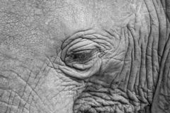 Närbild av elefantögat i svart & vitt arkivfoto