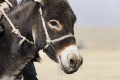 Närbild av en åsnas huvud arkivfoton