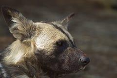 Närbild av en afrikansk wild hund Arkivfoton