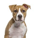 Närbild av en amerikanska Staffordshire Terrier valp Royaltyfria Foton
