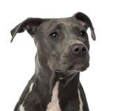 Närbild av en amerikanStaffordshire Terrier Royaltyfria Foton