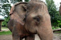 Närbild av en asiatisk elefant nära Chiang Mai, Thailand Royaltyfri Bild