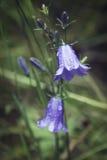 Närbild av en blå klocka i blom, en populär blomma av Skottland Arkivbild