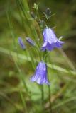 Närbild av en blå klocka i blom, en populär blomma av Skottland Royaltyfri Fotografi