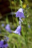Närbild av en blå klocka i blom, en populär blomma av Skottland Royaltyfria Foton