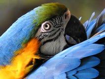 Närbild av en blå och gul macaw arkivbilder