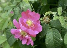 Närbild av en blomma i en trädgård i Finland Arkivfoton