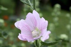Närbild av en blomma i Finland Royaltyfri Fotografi