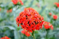 Närbild av en blommabränningförälskelse Royaltyfria Foton