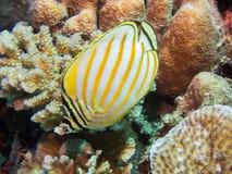 Närbild av en butterflyfish Royaltyfri Bild