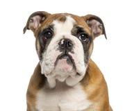 Närbild av en engelsk bulldoggvalp, 3,5 gamla månader royaltyfria foton