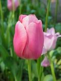 Närbild av en enkel rosa tulpan Royaltyfri Foto