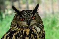 Närbild av en Eurasian Eagle Owl Royaltyfria Foton