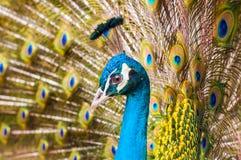 Närbild av en färgrik påfågel Royaltyfri Bild
