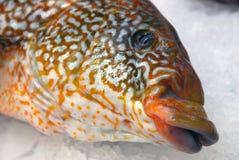 Närbild av en fisks huvud royaltyfri foto