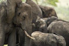 Närbild av en flock av elefanter, Serengeti, Tanzania Arkivbild