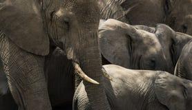 Närbild av en flock av elefanter, Serengeti, Tanzania Arkivbilder