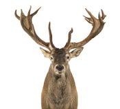 Närbild av en fullvuxen hankronhjort för röda hjortar Royaltyfri Foto