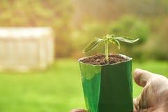 Närbild av en grönsakplanta i ett krukainnehav vid den manliga handen arkivbild