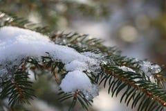 Närbild av en granfilial med snö arkivfoton