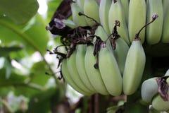 Närbild av en grupp av bananer på ett träd Arkivbild
