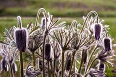 Närbild av en grupp av Pasque blommor i ängen royaltyfria foton
