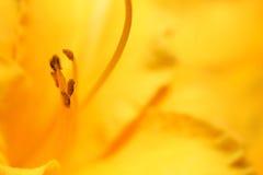 Närbild av en gul liljapistill Royaltyfri Fotografi