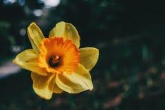 Närbild av en gul pingstliljadubiusblomma fotografering för bildbyråer