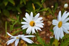 N?rbild av en h?rlig vit tusensk?na med en Wasp p? den, natur, makro royaltyfri bild