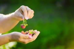 Närbild av en hand för bonde` som s rymmer en ny röd jordgubbe Royaltyfri Bild