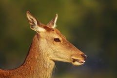 Närbild av en hind för röda hjortar mot grön bakgrund royaltyfri foto