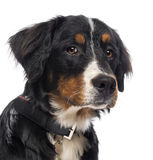 Närbild av en hund för Bernese berg Royaltyfri Bild