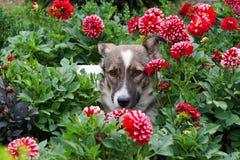 Närbild av en hund i en rabatt i blommor av dahlior Arkivfoton
