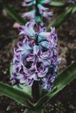 Närbild av en inflorescence av blåa och lila blommor arkivbilder