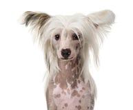 Närbild av en kines krönad hund royaltyfri fotografi