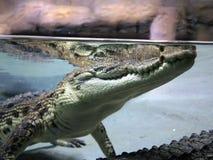 Närbild av en krokodil i den naturliga miljön, sikt från vatten Royaltyfri Fotografi