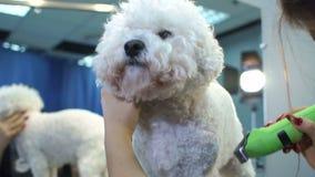 Närbild av en kvinna som klipper en hund Bichon Frise med en elektrisk hårclipper arkivfilmer