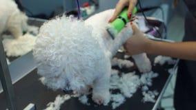 Närbild av en kvinna som klipper en hund Bichon Frise med en elektrisk hårclipper stock video