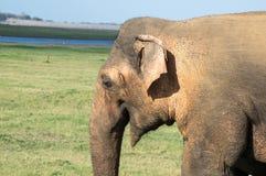 Närbild av en lös elefant i Sri Lanka arkivfoto