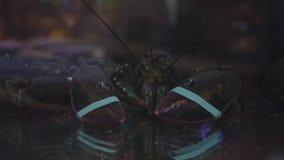 Närbild av en levande hummer med bundna jordluckrare Skjuta till och med exponeringsglaset stock video