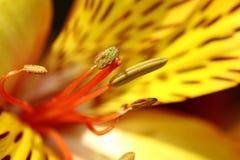 Närbild av en liljablomma Arkivfoto