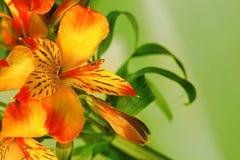 Närbild av en liljablomma Arkivbild