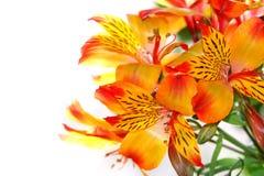 Närbild av en liljablomma Fotografering för Bildbyråer