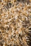 Närbild av en liten buske av Carlinagraecaväxten arkivbild